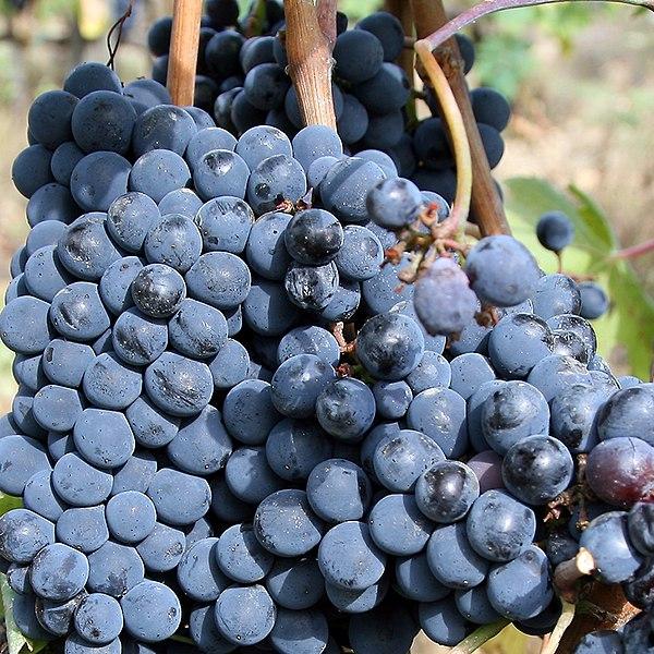 File:Sangiovese grapes for chianti.jpg