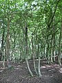 Saxon Wood - geograph.org.uk - 1355460.jpg