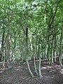 Saxon Wood - geograph.org.uk - 1355460.jpg