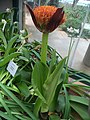 Scadoxus puniceus - Kirstenbosch botanical garden - 4.jpg