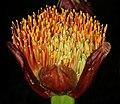 Scadoxus puniceus 1DS-II 4828.jpg