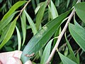 Scale insect damage on Paperbark Bottlebrush (5272621723).jpg
