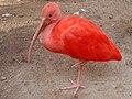 Scarlet Ibis at Dehiwala.jpg