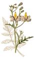 Schizanthus grahamii-edit.png