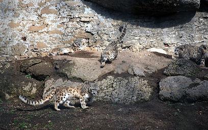Schneeleoparden (Panthera uncia) Zoo Salzburg 2014 f.jpg