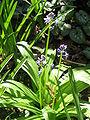 Scilla lilio-hyacinthus03.jpg