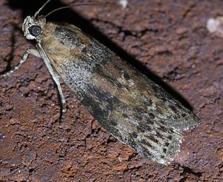 <i>Sciota</i> (moth) genus of insects