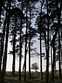 Scots pine on the edge of Islands Thorns Inclosure, New Forest - geograph.org.uk - 386715.jpg