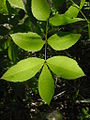 Scrub Hickory Leaf ERD.JPG