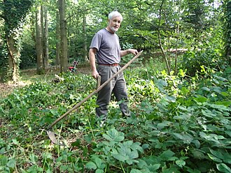 Bramble - Scything woodland brambles in Kent, England, preparatory to poisoning emerging new spring shoots