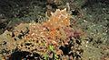 Sea Slug (Halgerda batangas) (6064812502).jpg