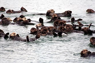 Moss Landing, California - Sea otters at Moss Landing harbor