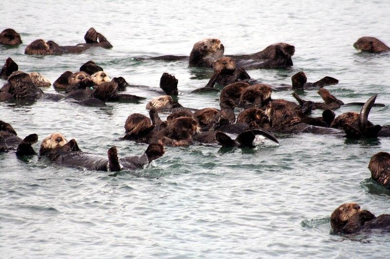 Sea otters at moss landing.jpg