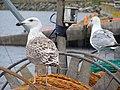 Seagulls in Killybegs (2820865653).jpg