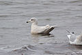 Second-winter Iceland Gull (Larus glaucoides) (16132298478).jpg