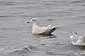 Second-winter Iceland Gull (Larus glaucoides) (16132298478).jpg
