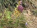 Sedum anacampseros flowers.jpg