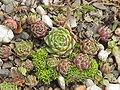 Sempervivum leucanthum1.jpg