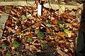 Sempervivum tectorum - Botanischer Garten Braunschweig - Braunschweig, Germany - DSC04383.JPG