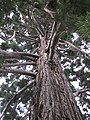 Sequoiadendron giganteum (Rentilly) trunk.jpg