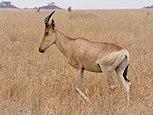 Serengeti Kongoni1.jpg