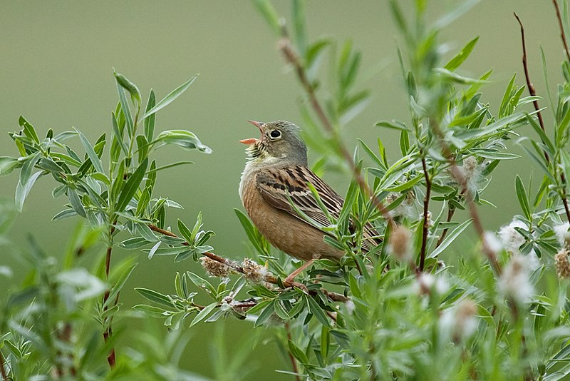 from http://commons.wikimedia.org/wiki/File:Sergey_Pisarevkiy_Ortolan_Bunting.jpg