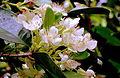 Seringueira do sul, em flor aberta.JPG