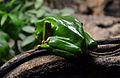 Serpentarium Blankenberge Phyllomedusa bicolor 30042015 3.jpg