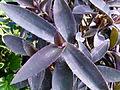 Setcreasea purpura 2.JPG
