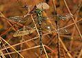 Shadow Darner - Aeshna umbrosa, Mason Neck, Virginia - 30832396080.jpg