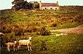 Sheep grazing at Achridigill - geograph.org.uk - 594901.jpg