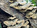 Shelf fungus 4.jpg