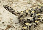 Short-Tailed Snake close up.jpg