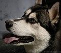 Siberian husky (7098894165).jpg