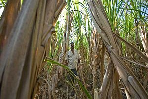 Siddis of Karnataka - Siddi Farmer in the fields of Yellapur District, Karnataka, India.