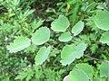 Silene vulgaris - Bladder Campion on way from Govindghat to Gangria at Valley of Flowers National Park - during LGFC - VOF 2019 (12).jpg
