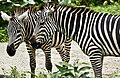 Singapore Zoo Zebra-5 (6636890371).jpg