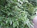 Sinojackia xylocarpa feuilles fruits.JPG