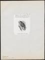 Sitta azurea - 1872 - Print - Iconographia Zoologica - Special Collections University of Amsterdam - UBA01 IZ19200335.tif