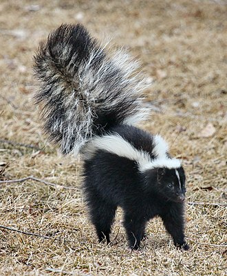 Skunk - Striped skunk (Mephitis mephitis) in defensive posture with erect and puffed tail, indicating that it may be about to spray.
