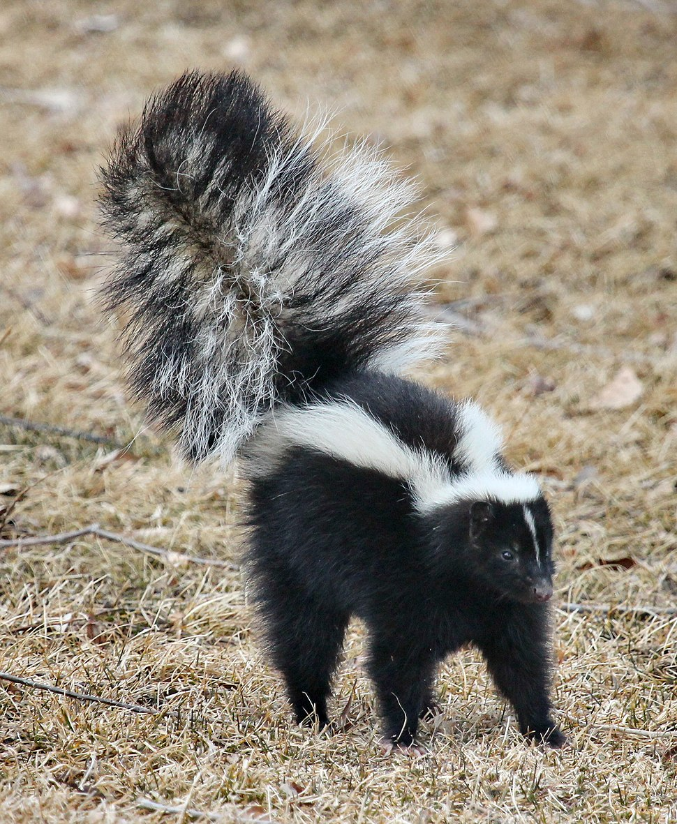 Skunk about to spray