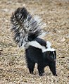 Skunk about to spray.jpg