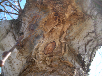 Pectobacterium carotovorum - Slime flux on a Camperdown elm caused by Pectobacterium carotovorum