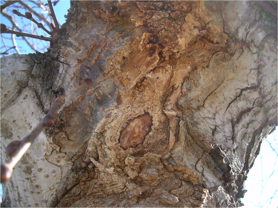 Slime flux on Camperdown elm