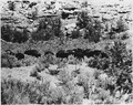 Small herd of buffalo - NARA - 286015.tif