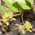 Smilax china (flower male s3).jpg
