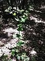Smyrnium perfoliatum sl11.jpg