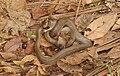 Snake(Colubridae sp) 08854.jpg