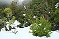 Snow-covered bush at start of Governors Bush Track in winter.jpg