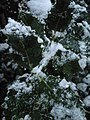 Snow-covered holly, Golders Hill Park NW11 - geograph.org.uk - 1651815.jpg